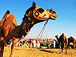 Camel Fair Pushkar | Pushkar Fair Rajasthan | Rajasthan City Tour | Tourist Cities in Rajasthan