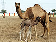 Camel Breeding Farm Bikaner