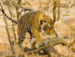 Tiger Trails Tours | Tiger Tours in India | Tiger Trails