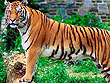 The Roar of Indian Tiger | Tiger Safari Tours in India | Special Tiger Safari