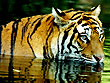 Tiger Trails of India | Wildlife in India Tours | Wildlife Tours in India | Tiger Tours in India